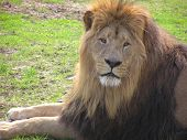 Face of a lion on a sunny day in the park with green grass as background poster