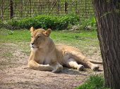 Body of a lion on a sunny day in the park with green grass as background poster