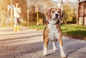 Beagle walk on long lead at the autumn park poster