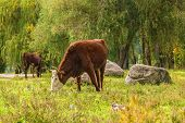 Cows grazing in the autumn forest on a sunny October day poster