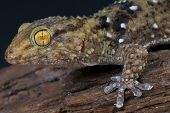 The thick toed gecko is a medium sized, stocky, gecko species often found in an around houses in East Africa. poster
