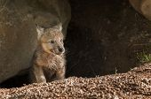 Grey Wolf (Canis lupus) Pup Pokes Head out of Den - captive animal poster