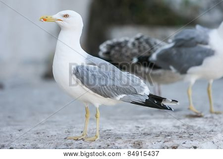 Side View Of Seagull On Concrete