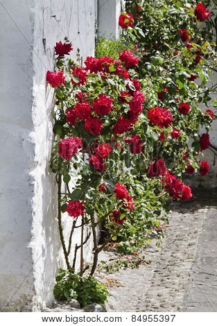 Rose bushes at Adare, County Limerick, Republic of Ireland