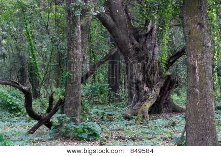 Chaotic Vine-Covered Central Florida Forest Scene