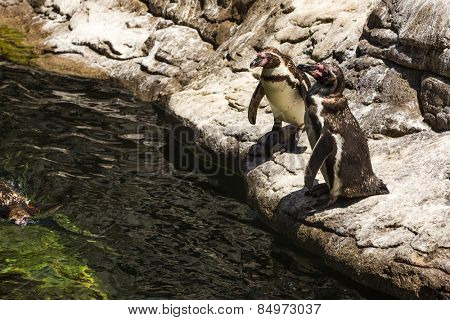High angle view of Humboldt penguins (Spheniscus Humboldt) in a zoo, Barcelona Zoo, Barcelona, Catalonia, Spain