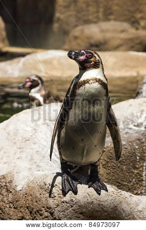Humboldt penguins (Spheniscus Humboldt) in a zoo, Barcelona Zoo, Barcelona, Catalonia, Spain