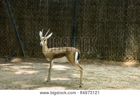 Gazelle in a zoo, Barcelona Zoo, Barcelona, Catalonia, Spain