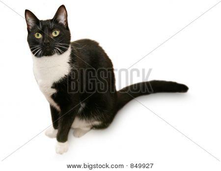 poster of Beautiful tuxedo cat - Isolated