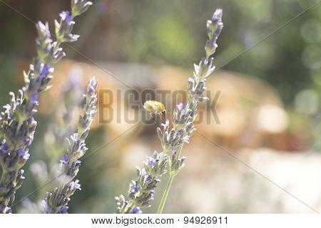 Lavendar Herb Bush Honey Flying Insect Sucking Nectar