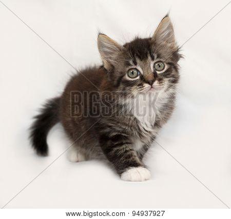 Siberian fluffy tabby kitten going on gray background poster