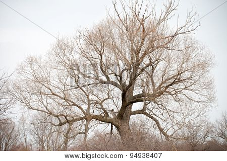 Single leafless bare tree stem with many branches in late winter on background of faint dim sky
