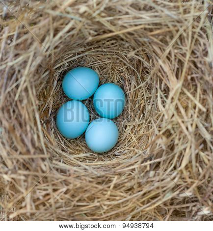 Bluebird Nest With Eggs