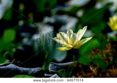 Blooming Yellow Lotus Flower.