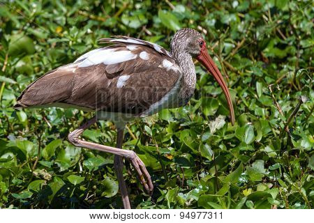 A Long Legged Young American White Ibis