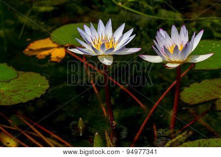 Tropical White Water Lily Flower