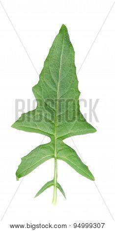 Mustard Leaf