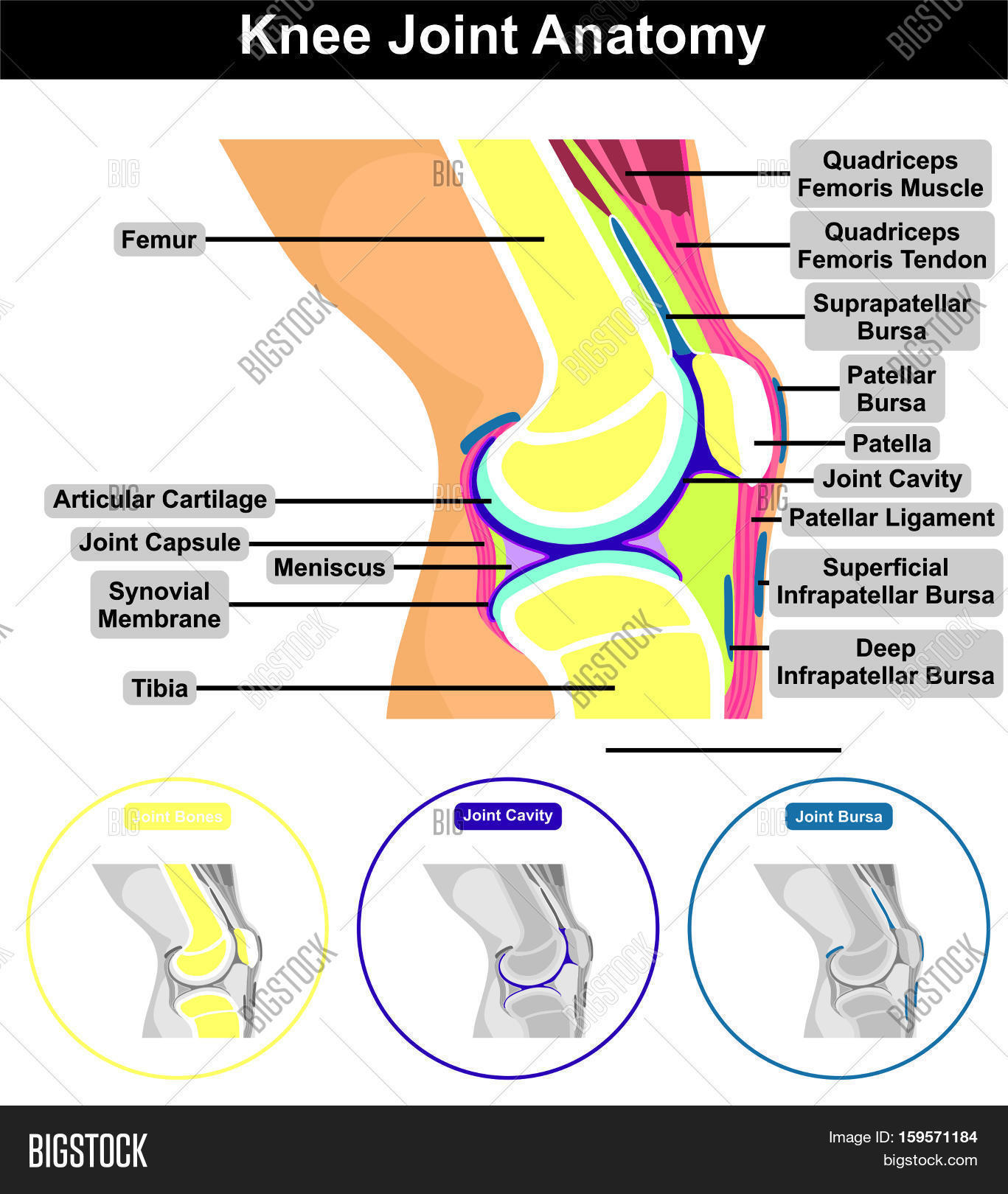 Human knee joint image photo free trial bigstock human knee joint anatomy structure and contents including bones femur tibia patella cavity muscle tendon capsule ccuart Choice Image