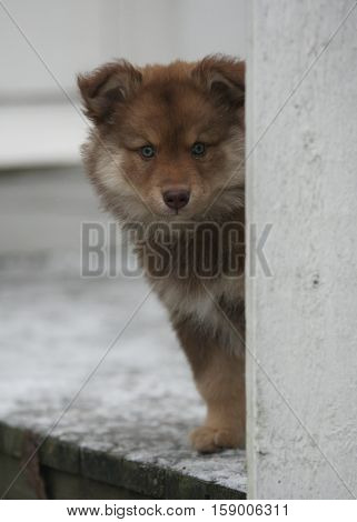 Finnish lapphund puppy peeking behind a corner