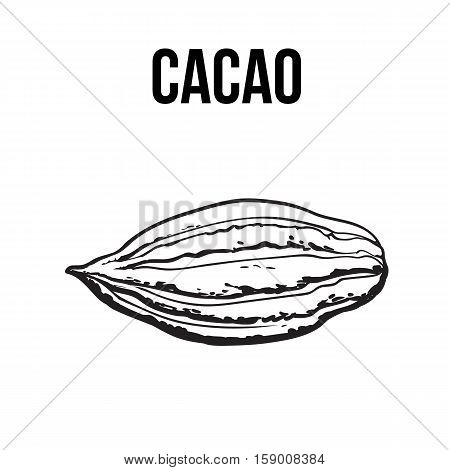Hand drawn ripe cacao fruit, sketch style vector illustration isolated on white background. Colorful illustration of cacao fruit, main chocolate ingredient