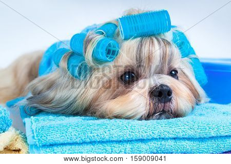 Shih tzu dog after washing. With curlers and towels. On white background.