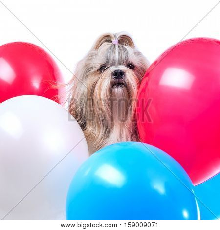 Long hair shih tzu dog holiday with red, blue and white balloons. On white background.