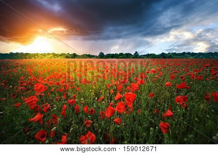 Poppies. Summer landscape. poppies, sunset, clouds, light