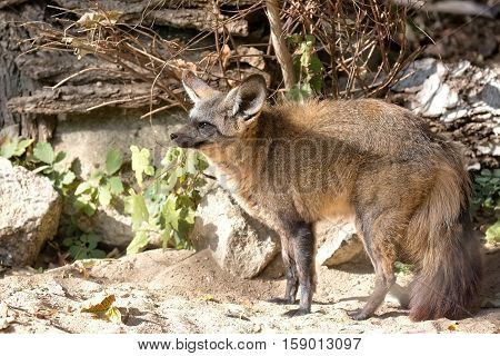 Vulpes cana in the wild in a clearing