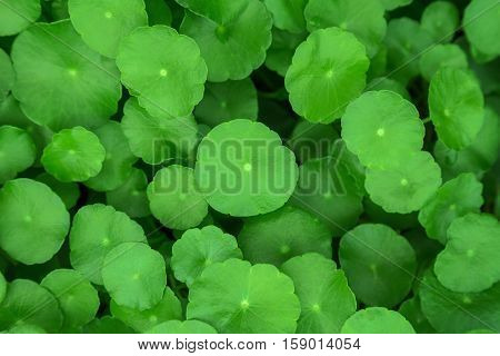 Gotu kola, Asiatic pennywort, Indian pennywort, green leaf background, Tiger Herbal