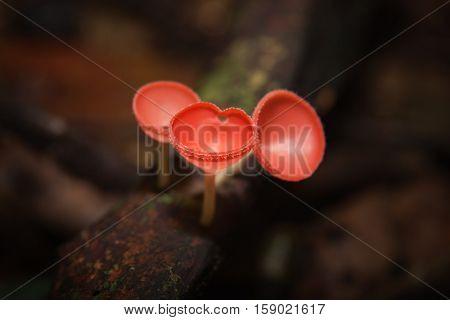 Orange mushroom or Champagne mushroom in rain forest Thailand.
