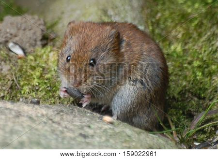 Bank Vole (Clethrionomys glareolus) eating seed in woodland