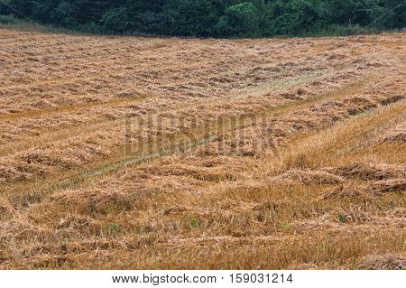 Summer landscape mowed cornfield with forest in the background.