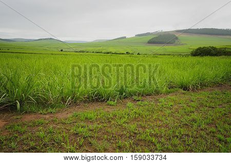 Young sugar cane plants in Kwa-Zulu Natal South Africa