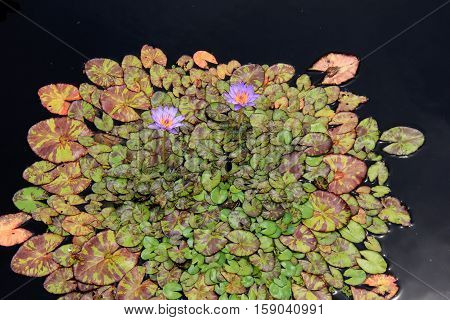 Gorgeous image of colorful leaves with interesting markings, purple  water lilies tucked in between
