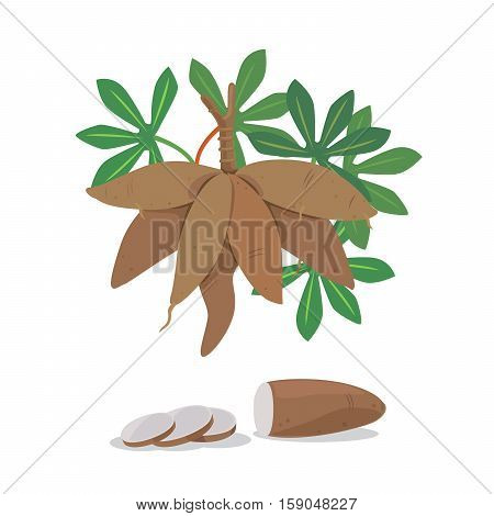Vector of cassava root and cassava pieces.