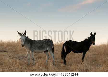 Two donkeys in the fiel with a dry pasture