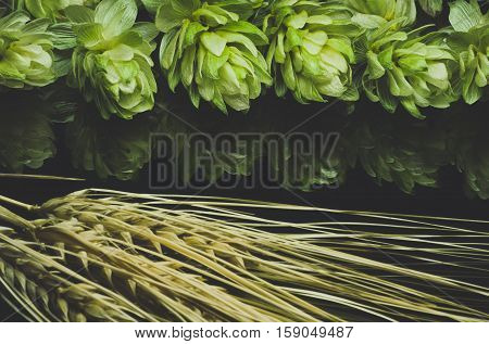 Green hop cones and ears of wheat on a dark background grown for brewing beer and bread as well as a seasoning for food Blue toned