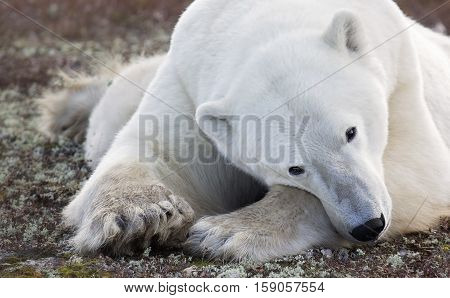 Close up image of a polar bear resting on the tundra.  Autumn in Churchill, Manitoba, Canada