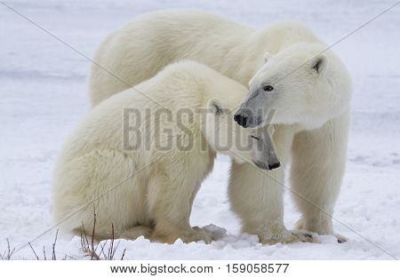 Polar bear sow protecting her cub.  Late autumn in Churchill, Manitoba, Canada.