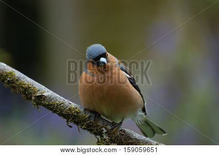 Curious Chaffinch perched on a branch with head slightly cocked.