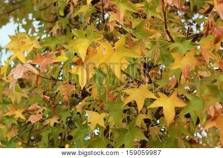 golden and green liquidamber fall foliage medium distance