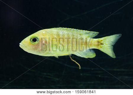 Maylandia hajomaylandi. Cichlid endemic to Lake Malawi.