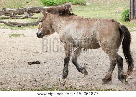 Przewalski's horse (Equus ferus przewalskii), also known as the Asian wild horse.