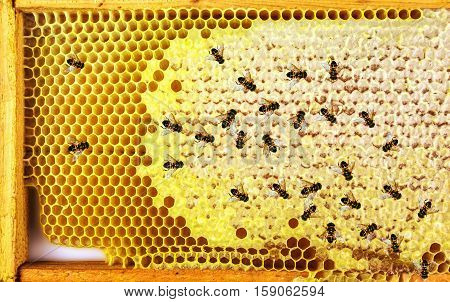 Honey bees Honeycomb close-up. honeycomb with bees background.