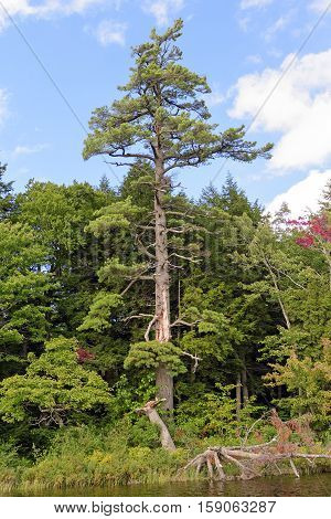 Magestic White Pine on the Lake shore of Mirror Lake in Porcupine Mountains State Park in Michigan