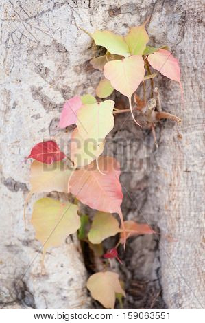Beautiful yellow and red leaves Bodhi Tree Pho leaf
