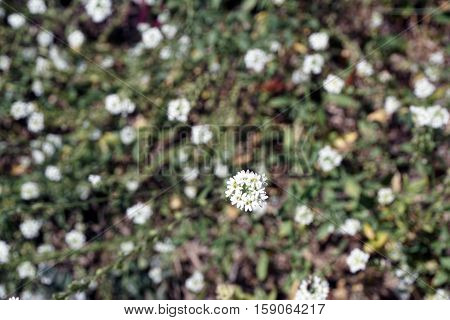 Hoary alyssum (Berteroa incana), also called false hoary madwort, hoary berteroa, and hoary alison, blooms in a yard in Harbor Springs, Michigan during August.