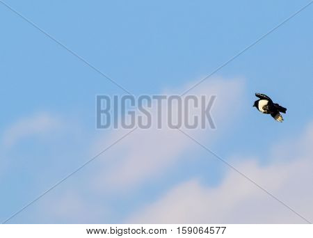 Magpie In The Sky. Flight Magpie Against The Sky With Clouds