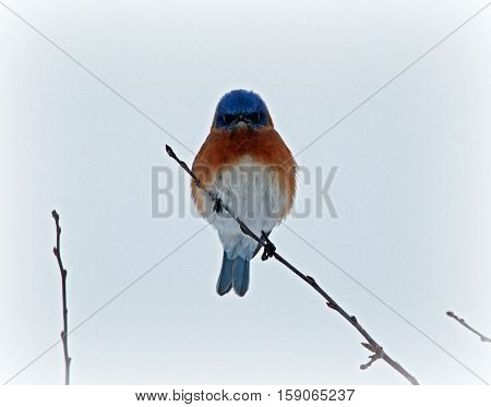 Bluebird in the winter sitting a a thin branch