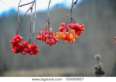 Red Berries Of A Guelder-rose At Winter